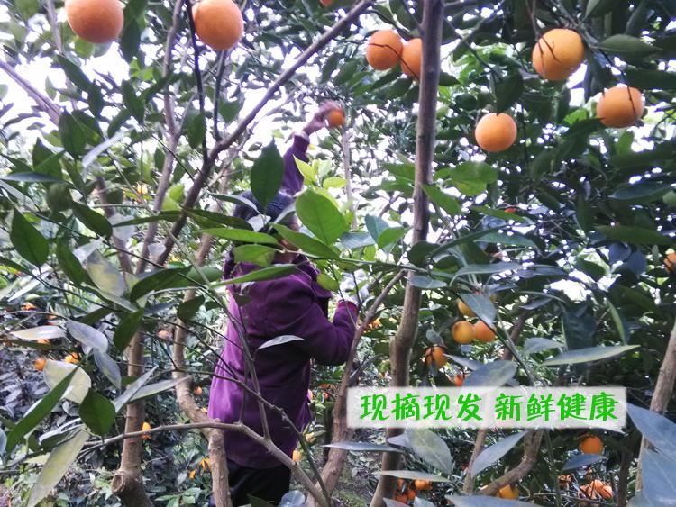 zhonghuahongcheng-5