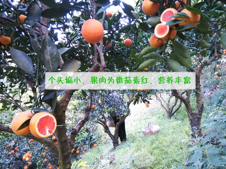 zhonghuahongcheng-6
