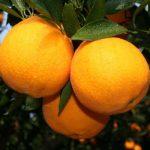 罗伯逊脐橙