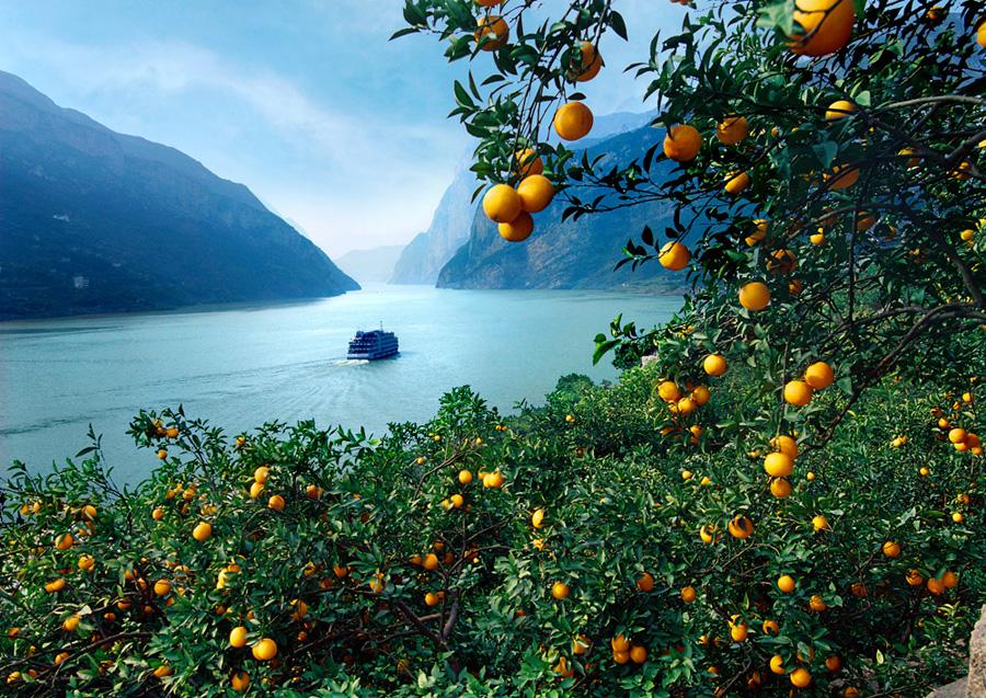 秭归脐橙果园展示