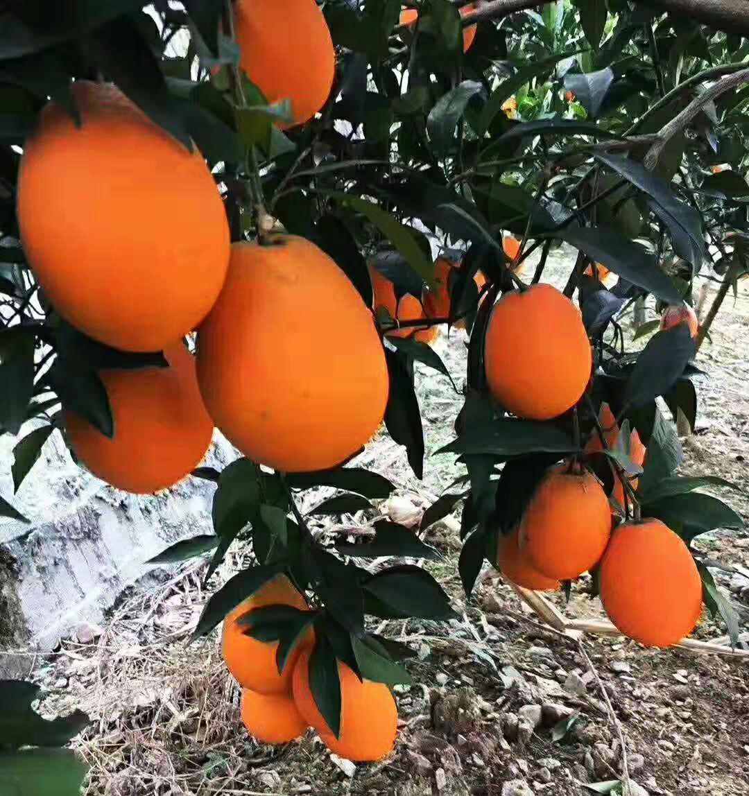 欢迎大家来批发秭归脐橙